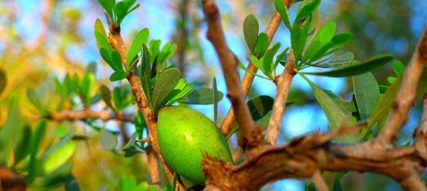 Niezwykłe działanie oleju arganowego i hydrolatu oczarowego