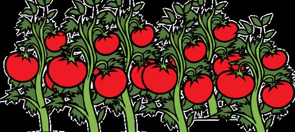 Smaczne i zdrowe pomidory!